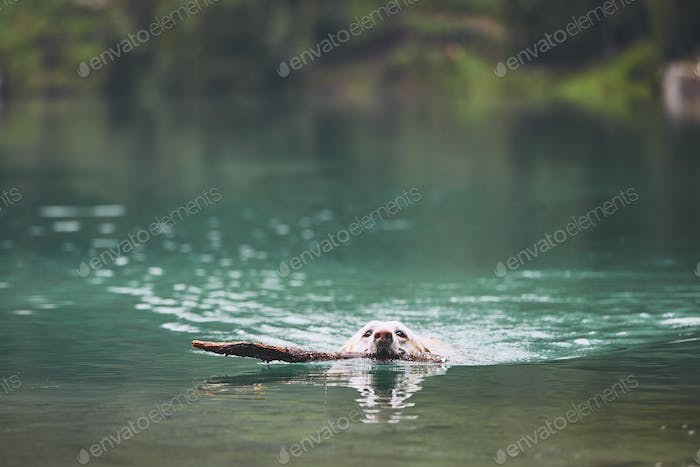 Dog in mountain lake
