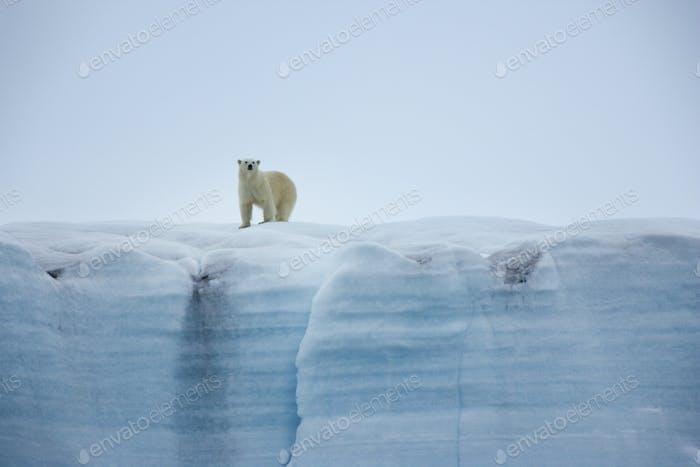 A polar bear,Ursus maritimus, standing on an ice cliff.