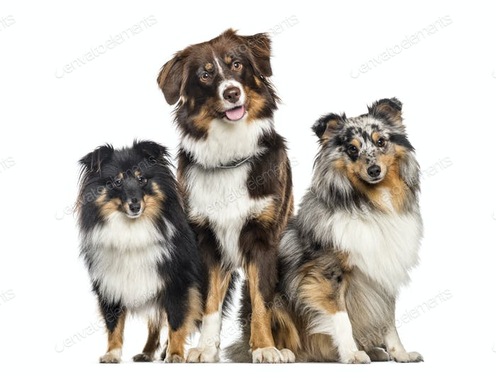 Shetland Sheepdog and Australian Shepherd, dogs in a row, white background