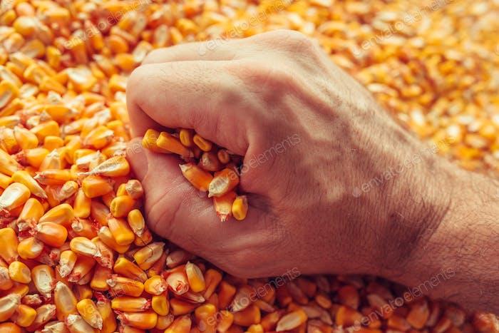 Bauernhand über goldene reife geerntete Kerne
