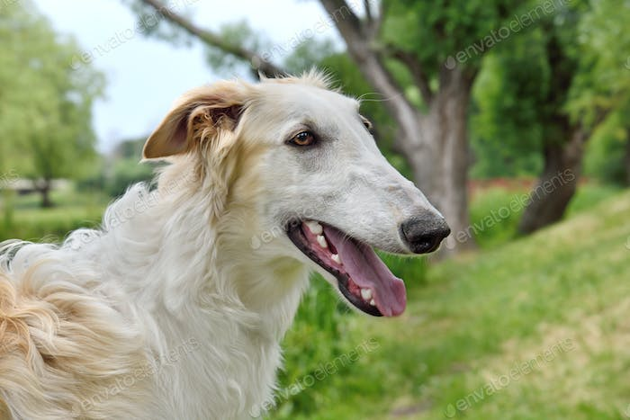 Portrate of borzoi dog