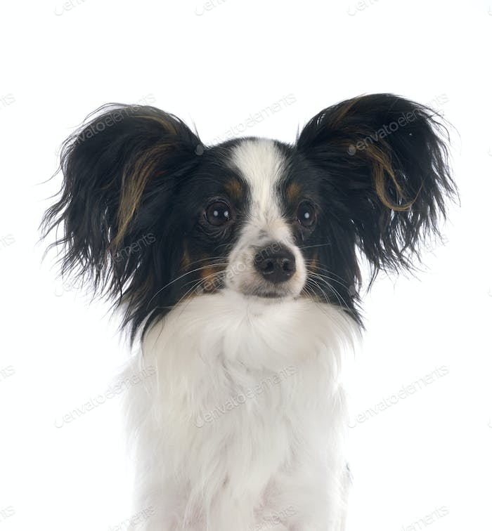 papillon dog in studio