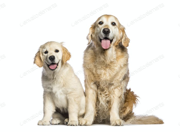 Golden Retriever, 12 years old and 3 months old, sitting in front of white background