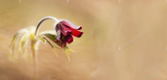 Frühlingskonzept - rote Anemone Blume