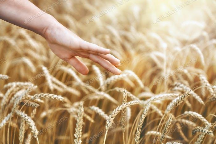 hand touching golden wheat