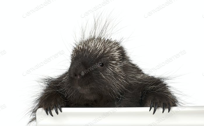 Portrait of North American Porcupine, Erethizon dorsatum, also known as Canadian Porcupine or Common