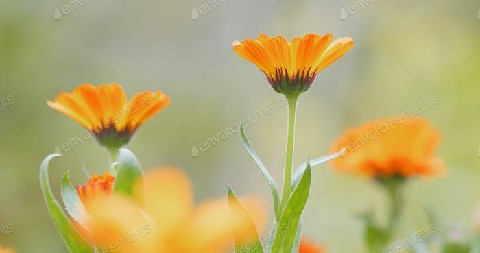 Orange Gänseblümchen Blume