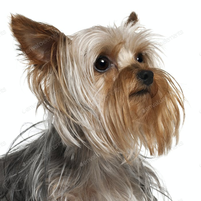 Close-up of Yorkshire Terrier, 1 year old, in front of white background