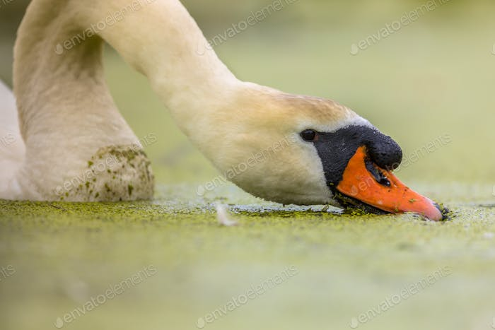 Mute swan eating duckweed