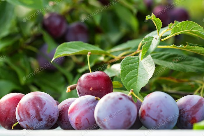 Ripe cherry plums and tree branch close