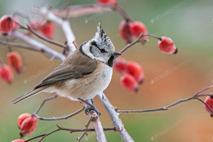 Crested tit, perching on a twig