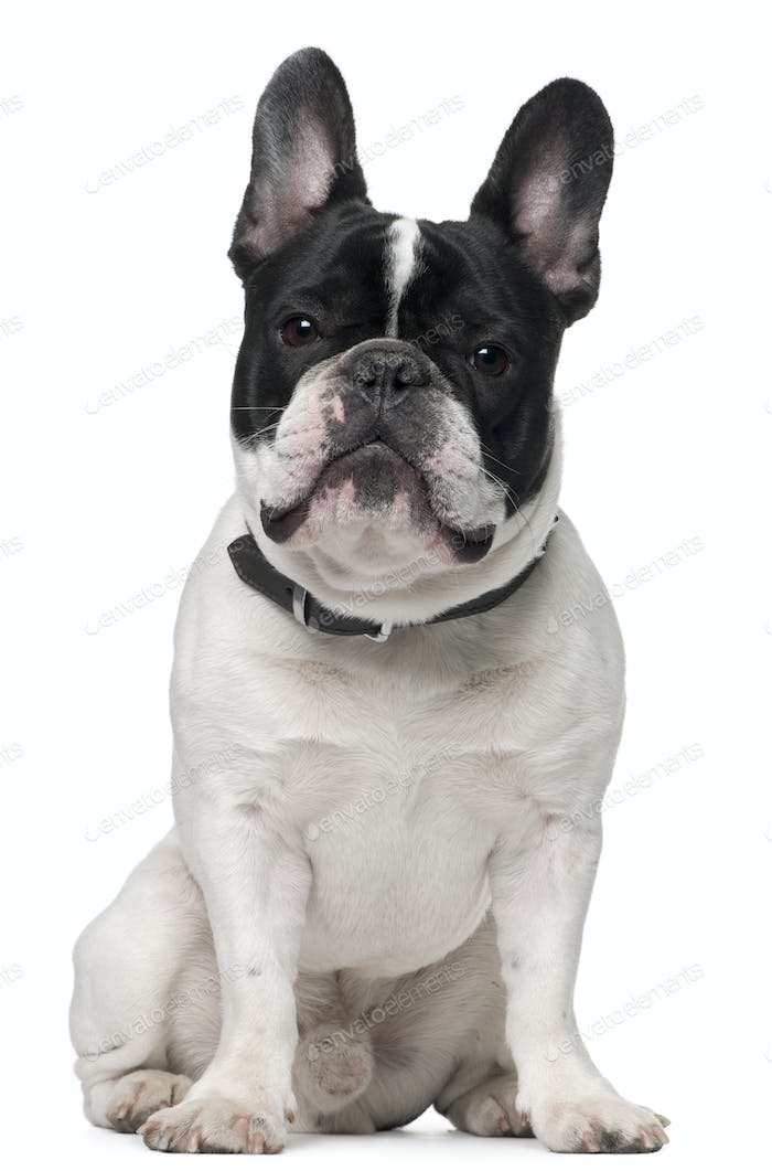 French bulldog, 15 months old, sitting in front of white background
