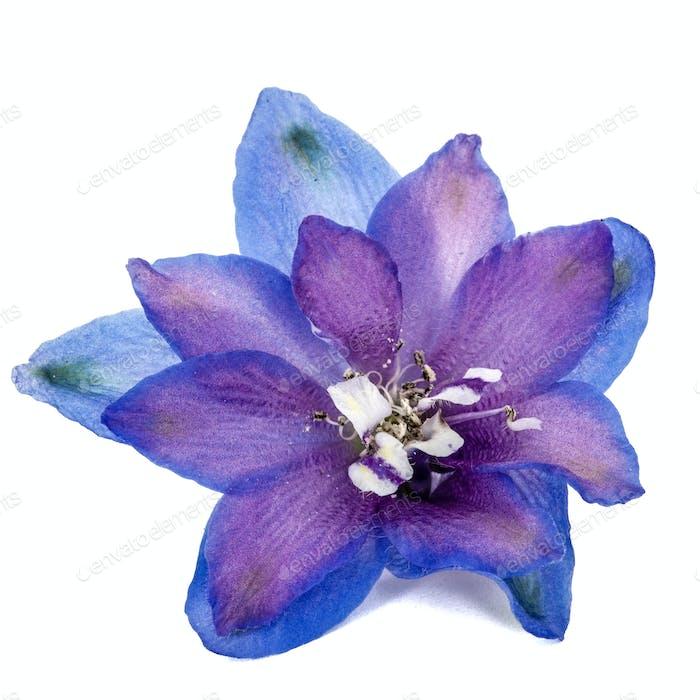 Blume von Delphinium (Larkspur) Nahaufnahme, isoliert auf weißem Rücken