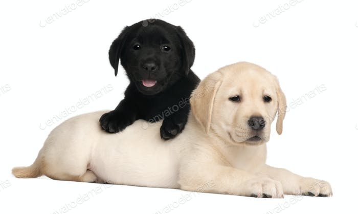 Two Labrador Puppies 7 Weeks Old In Front Of White