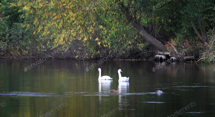 Pair of Mute Swans Swimming Together in England