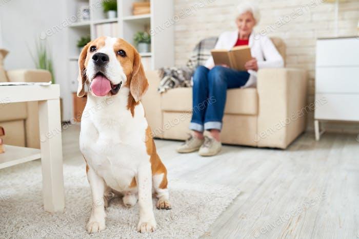 Beagle Dog in Loving Home