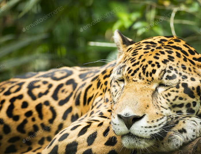 Thumbnail for Jaguar Cat Resting