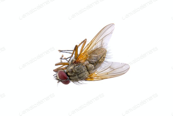 Brown fly on a white background
