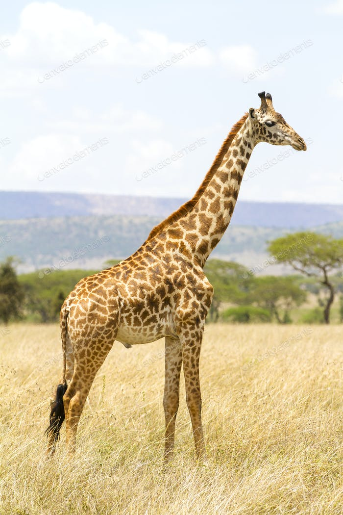 Long giraffe standing at the savannah in Serengeti