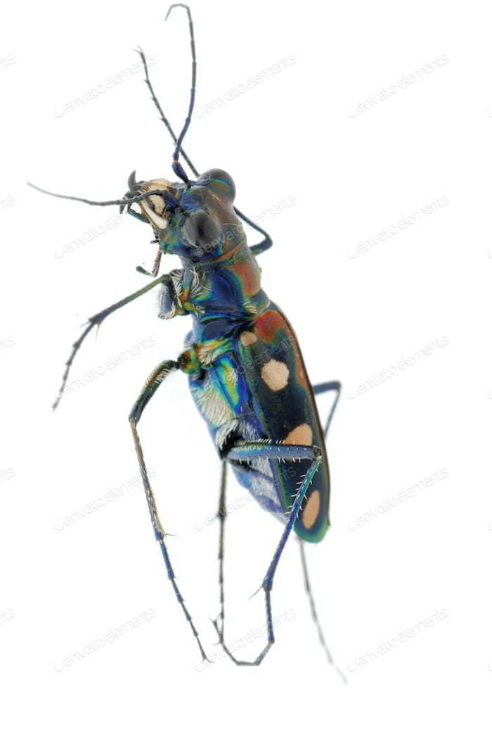 tiger beetle bug insect