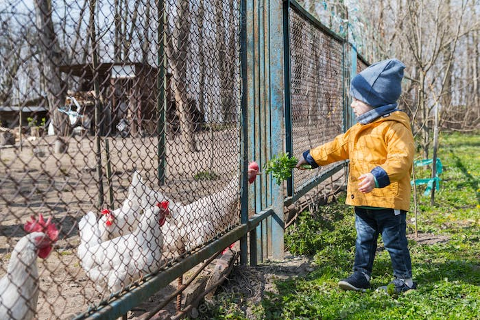 Little boy feeds the chickens through the grate