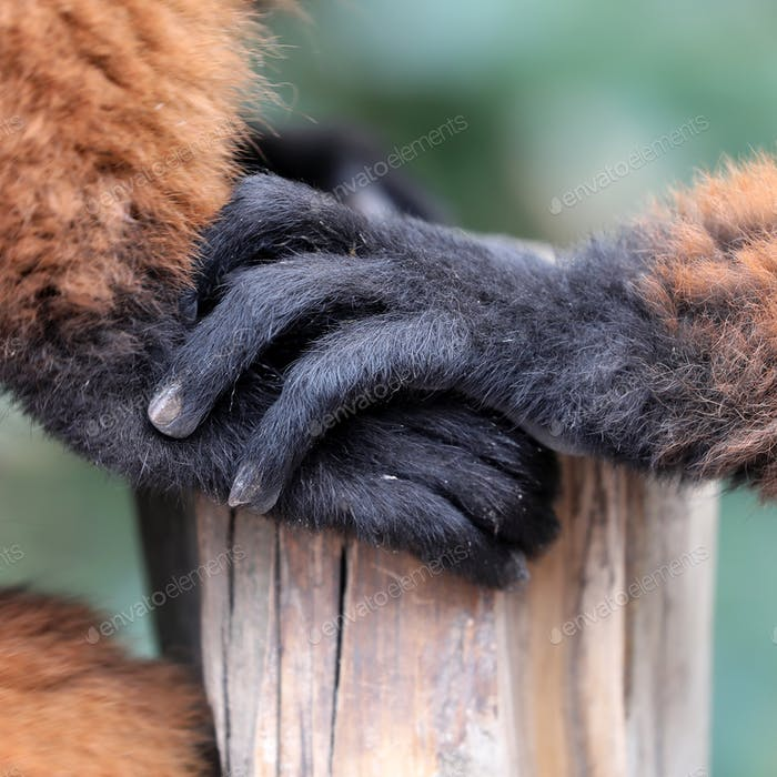 close-up view of beautiful wild Red lemur detail in nature