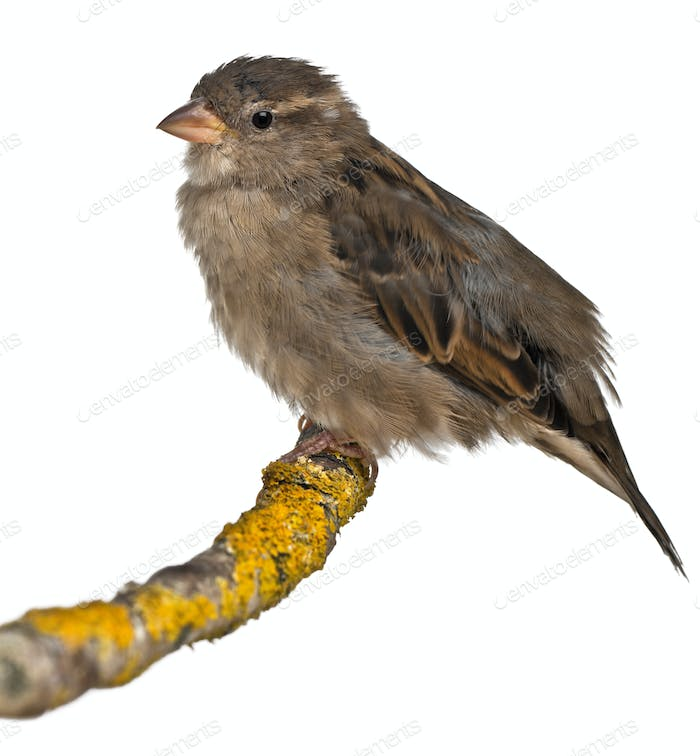 Female House Sparrow, Passer domesticus, 4 months old, in front of white background