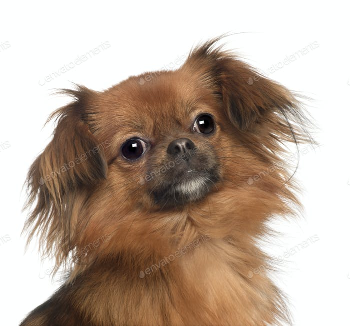 Portrait of Yorkshire Terrier, 1 year old, in front of white background