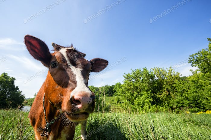 Brown cow on green pasture