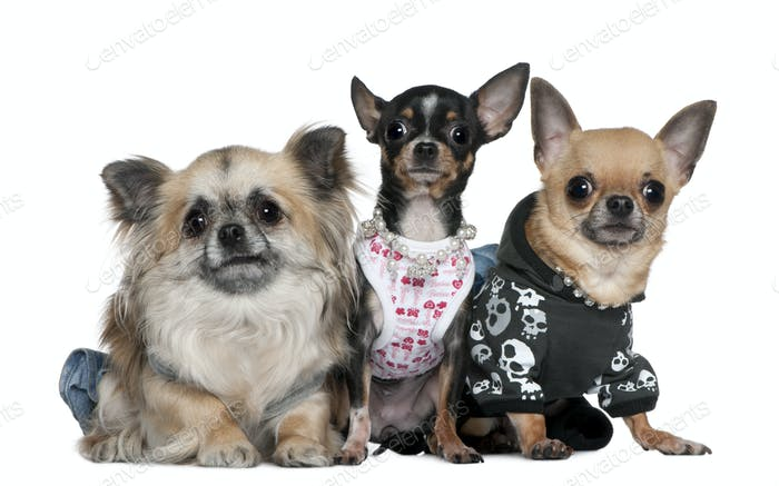 Group of Chihuahuas dressed up, 3 and 2 years old, in front of white background