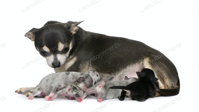 Mother Chihuahua  and her puppies, 4 days old, in front of white background