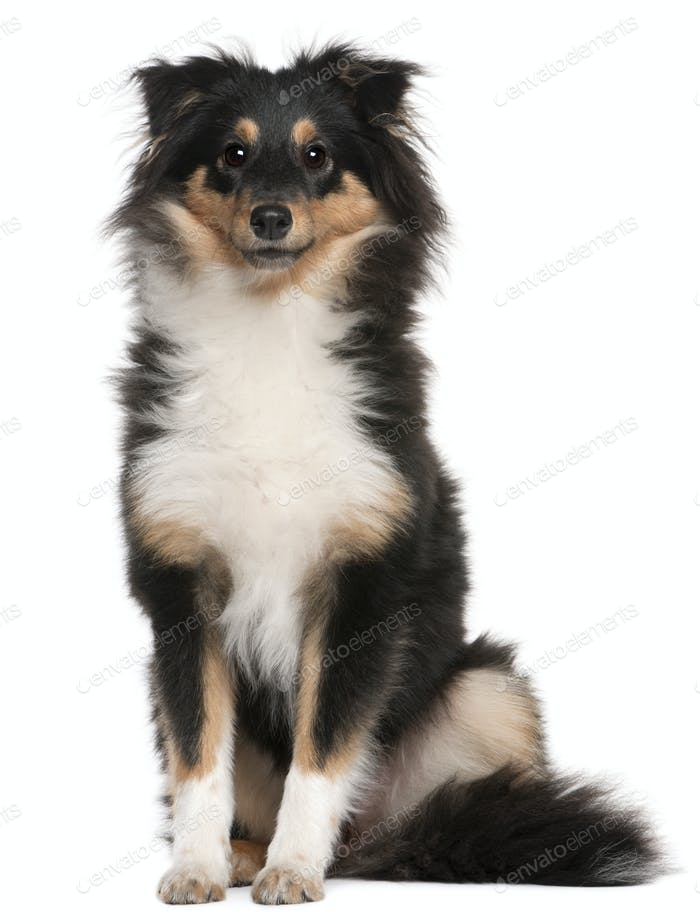 Shetland Sheepdog puppy (6 months old)
