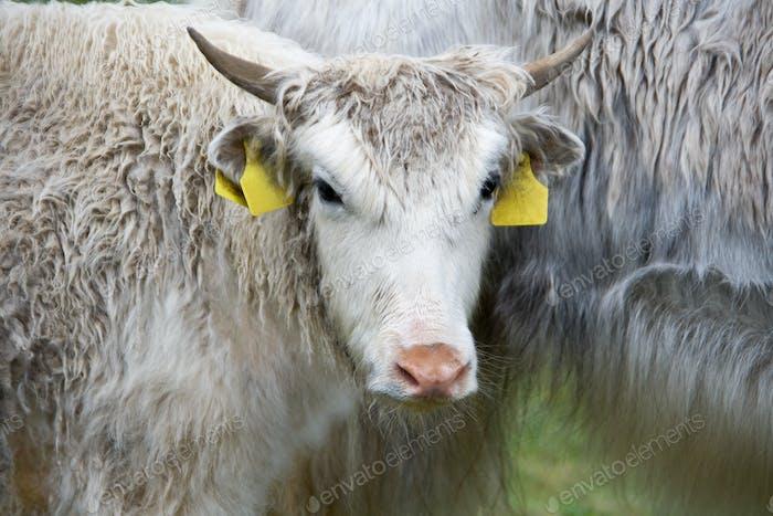 yak closeup