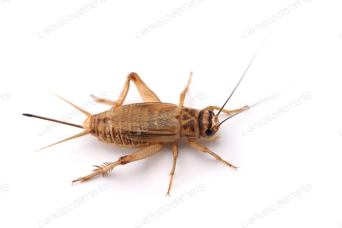 Cricket isolated on white background