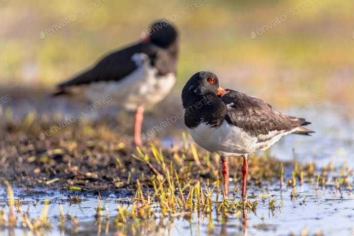 Pied Oystercatcher couple sleeping on river bank