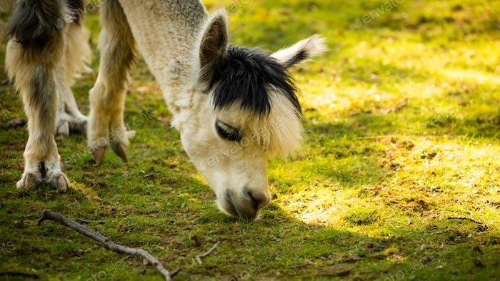 Furry white lama in zoo Austria Styria Herberstein tourist destination autumn time