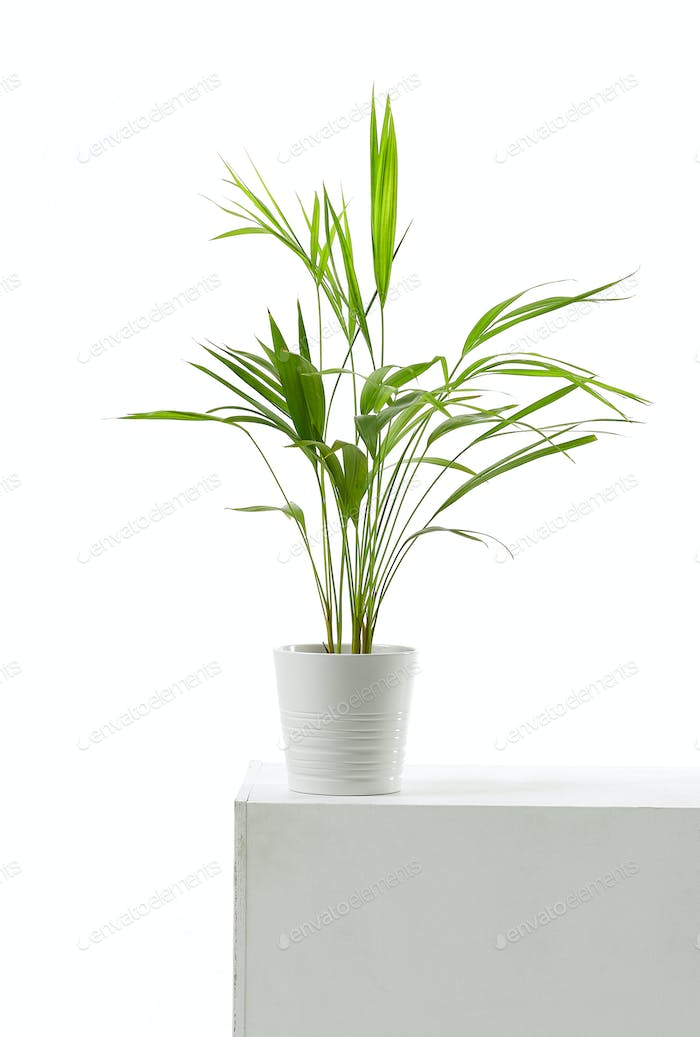 Areca palm on white background