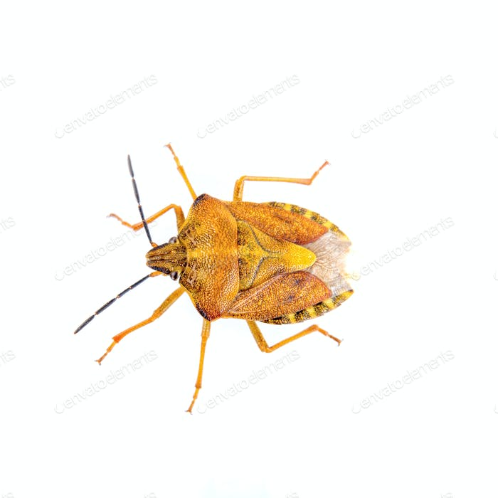 Orange shield bug on a white background