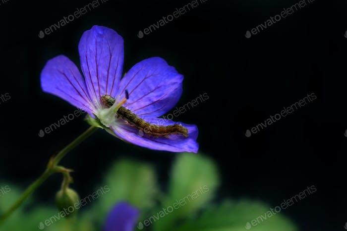 Wild flower with a caterpillar