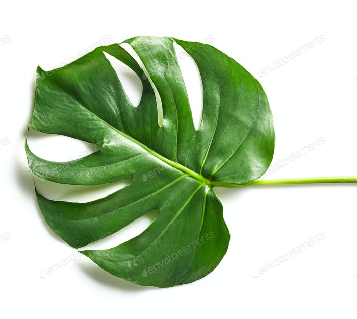 green tropical leaf