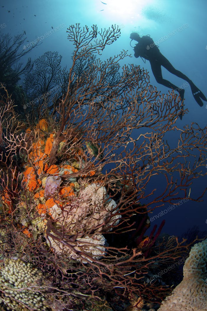 Silhouette of scuba diver above coral reef, St. Lucia.