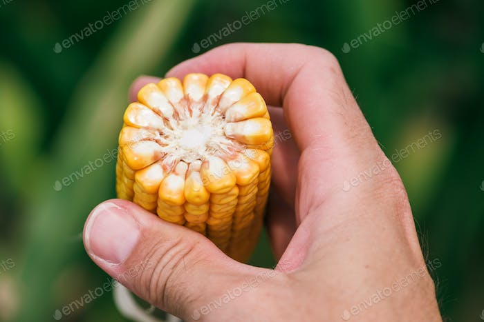 Close up of farmer's hand holding corn cob