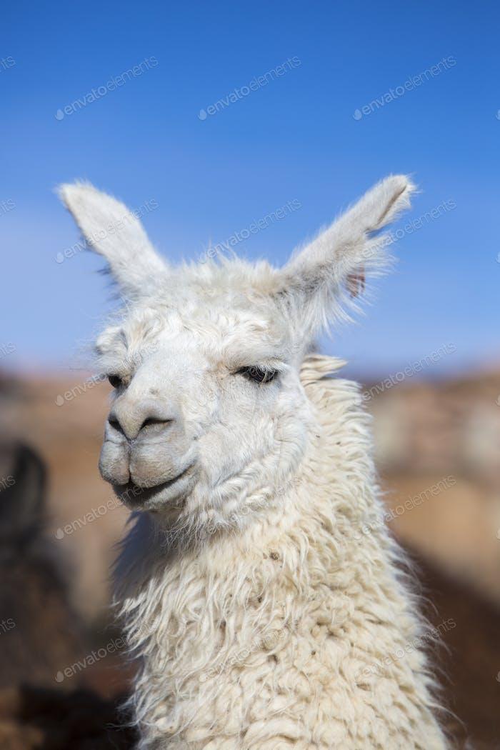 Llama against a blue clear sky in Bolivia