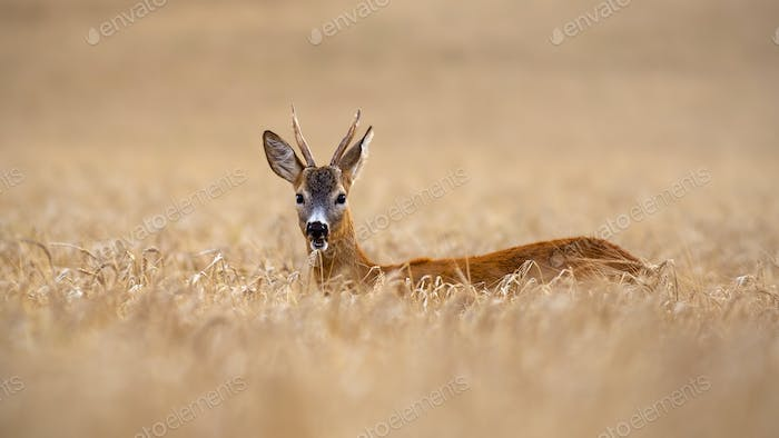 Roe deer buck standing out in high grain field in summer chewing