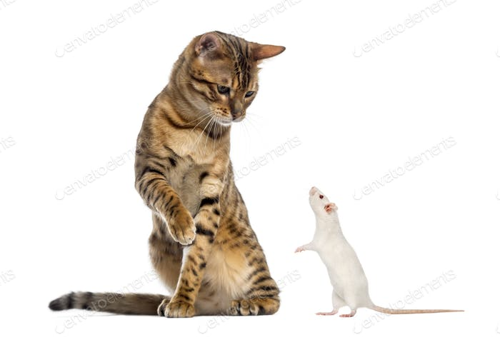 Bengal looking down and pawing at a rat