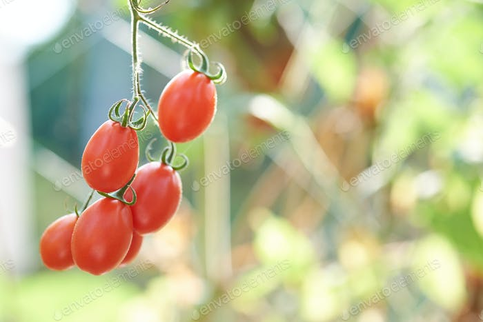 Ripe tomatoes hanging from plant