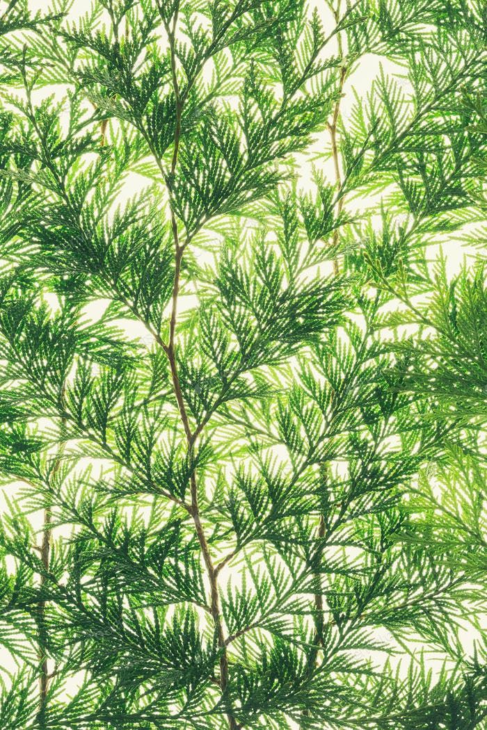 Western red cedar branch with green thin linear shaped leaves