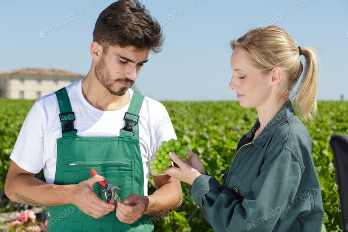 young couple looking at grapes in the grape fields