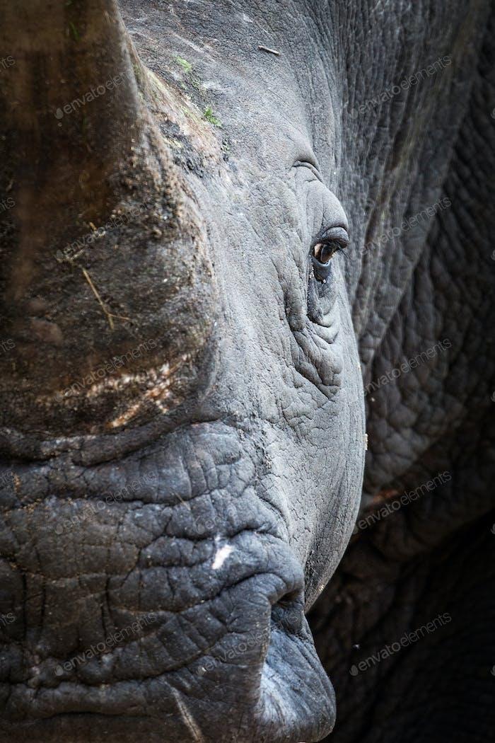 A rhino's head, Ceratotherium simum, direct gaze
