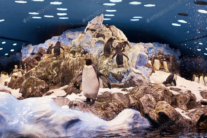 Group of Emperor penguins on an artificial environment the national zoo.